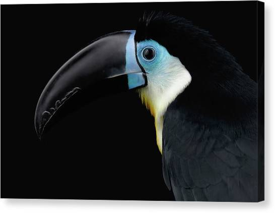 Close-up Channel-billed Toucan, Ramphastos Vitellinus, Isolated On Black Canvas Print