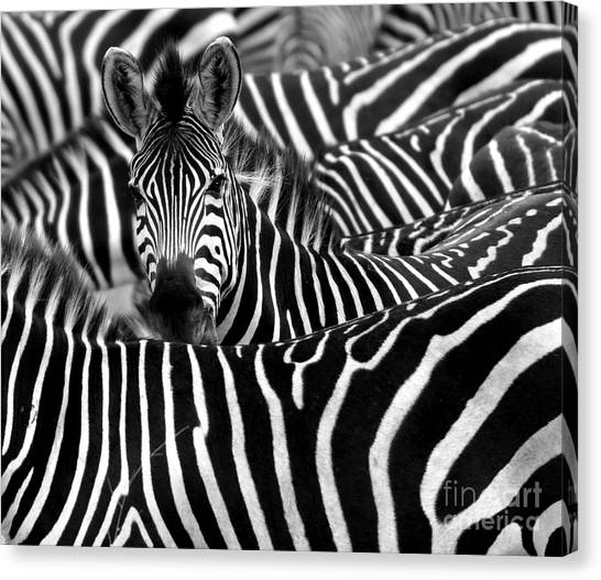 Livestock Canvas Print - Close Up From A Zebra Surrounded With by Chantal De Bruijne