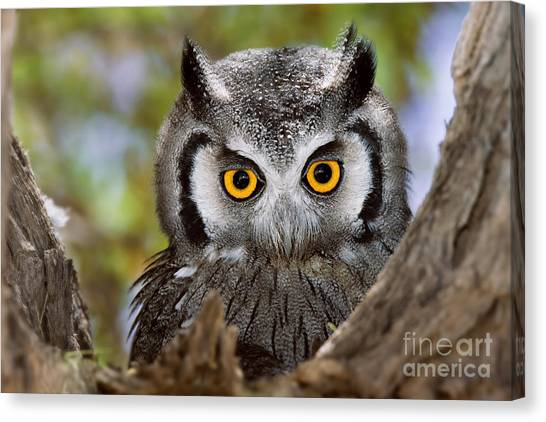 Southern Africa Canvas Print - Close-up Of A Whitefaced Owl Otus by Johan Swanepoel