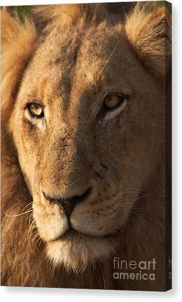 Southern Africa Canvas Print - Close-up Of A Young Male Lion Panthera by Johan Swanepoel