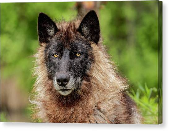 Close-up Of Adult Male Gray Wolf, Canis Canvas Print by Adam Jones