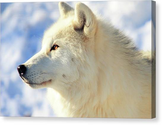 Arctic Wolf Canvas Print - Close Up Of Arctic Wolf by David R. Tyner