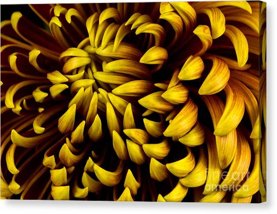 Dahlias Canvas Print - Close-up Of Autumn Dahlia Flower. Macro by Veroja