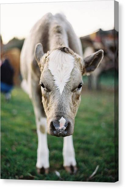 Nottinghamshire Canvas Print - Close Up Of Cow by Photographed By Victoria Phipps ©