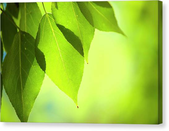 Soft Focus Canvas Print - Close-up Of Fresh Green Leafs by Druvo