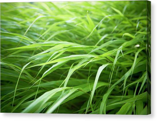 Blade Of Grass Canvas Print - Close-up Of Ornamental Grasses, Toronto by Shannon Ross