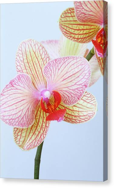 Close Up Of Phalaenopsis Orchid Flower Canvas Print by Linda Burgess