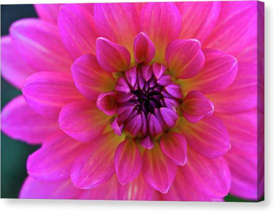 Close-up Of Pink Flower Canvas Print by Jupiterimages