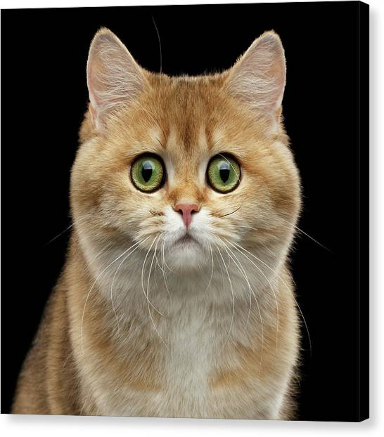 Close-up Portrait Of Golden British Cat With Green Eyes Canvas Print