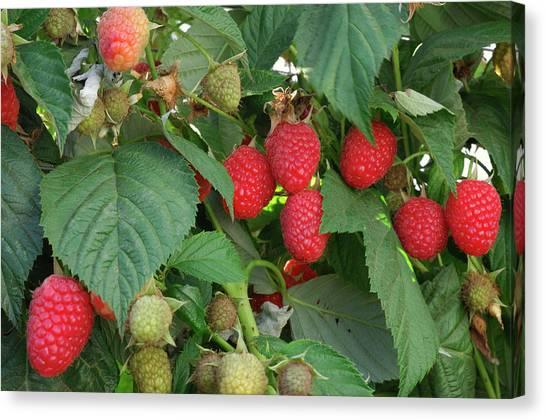 Close-up Ripening Organic Raspberries Canvas Print