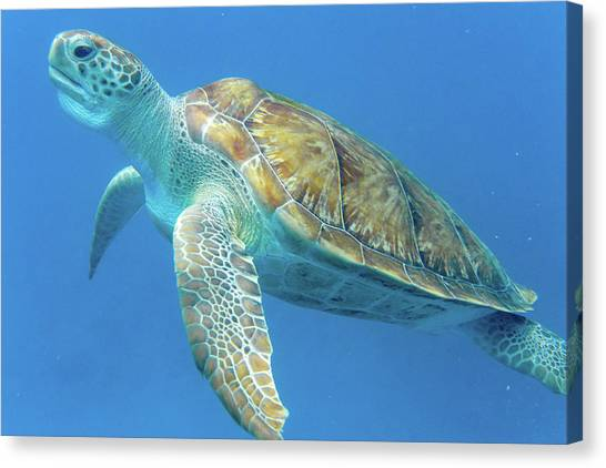 Close Up Sea Turtle Canvas Print