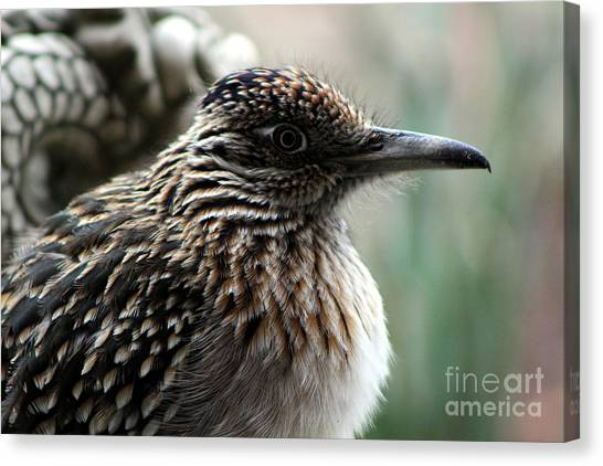 Closeup Of Road Runner By Dragon In Palm Desert Canvas Print