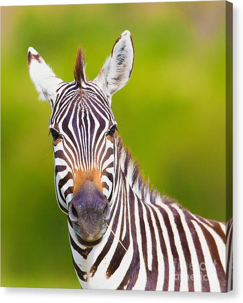 Beauty Canvas Print - Closeup On Beautiful Zebras Head by Sergei Kolesnikov