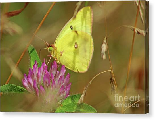 Sulfur Butterfly Canvas Print - Clouded Sulfur Butterfly by Maili Page