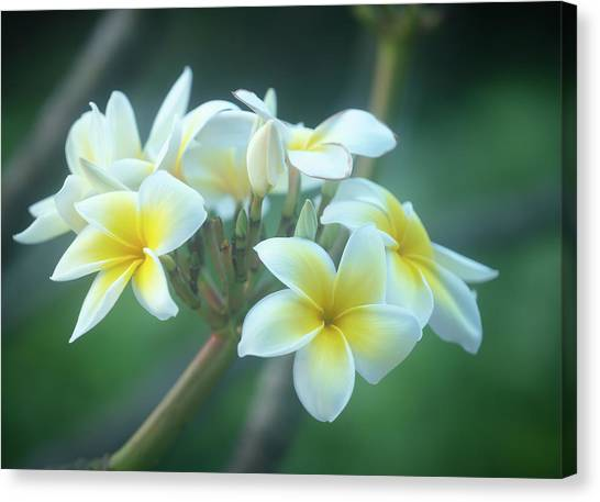 Cloudy Day Plumerias Canvas Print