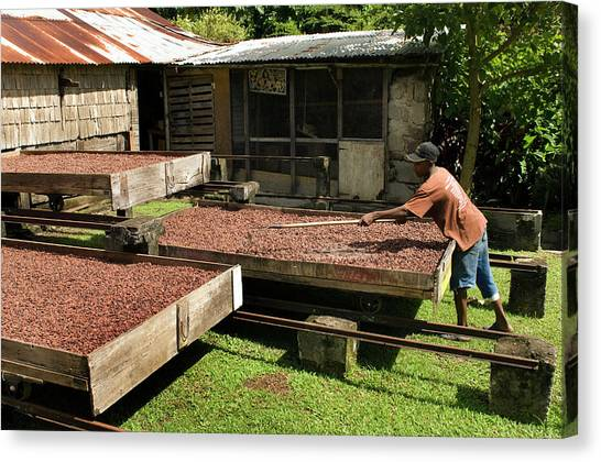 Drawers Canvas Print - Coffee Beans Being Dried In Large by Mark Edward Harris