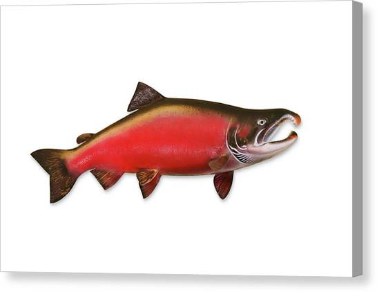 Coho Salmon With Clipping Path Canvas Print by Georgepeters