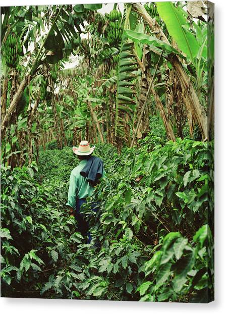 Colombia, Farmer Walking In Coffee And Canvas Print