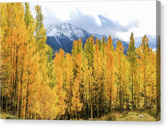 Colorado Aspens And Mountains 1 Canvas Print
