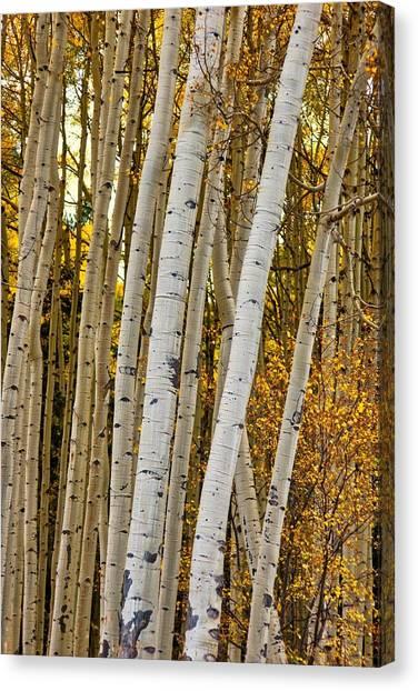 Colorado Aspens Canvas Print