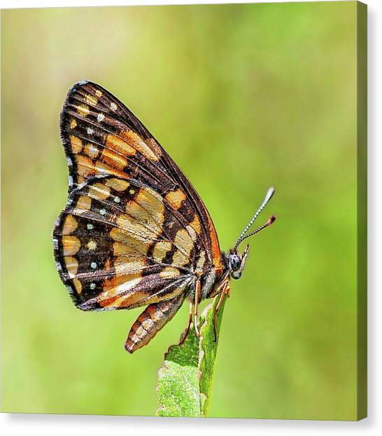 Canvas Print featuring the photograph Colorful Butterfly by Anthony Dezenzio