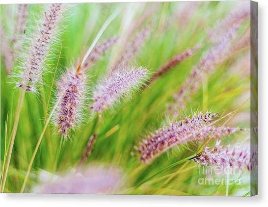 Colorful Flowers In Purple Spikes, Purple Fountain Grass, Close- Canvas Print