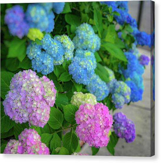 Colorful Hydrangeas Canvas Print
