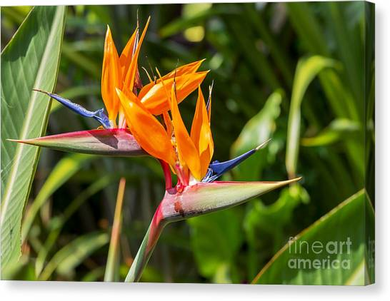 Botany Canvas Print - Colorful Of  Bird Of Paradise Flower by Ntdanai