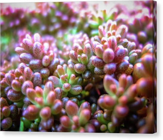 Nottinghamshire Canvas Print - Colourful Garden Alpine Succulent Plants by Nuzulu