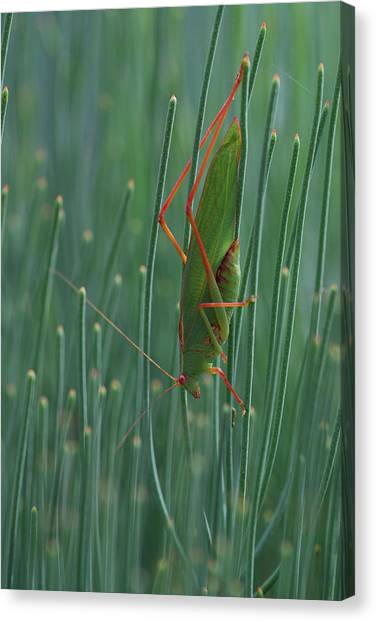 Canberra Canvas Print - Common Garden Katydid by Auscape/uig