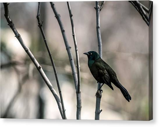 Common Grackle Canvas Print by By Ken Ilio