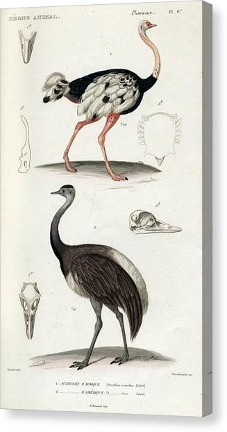 Emu Canvas Print - Common Ostrich by Georges Cuvier