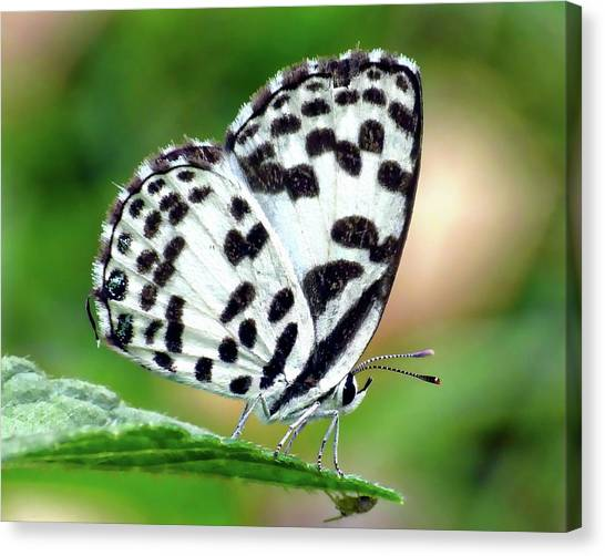 Canvas Print featuring the photograph Common Pierrot Butterfly by Anthony Dezenzio