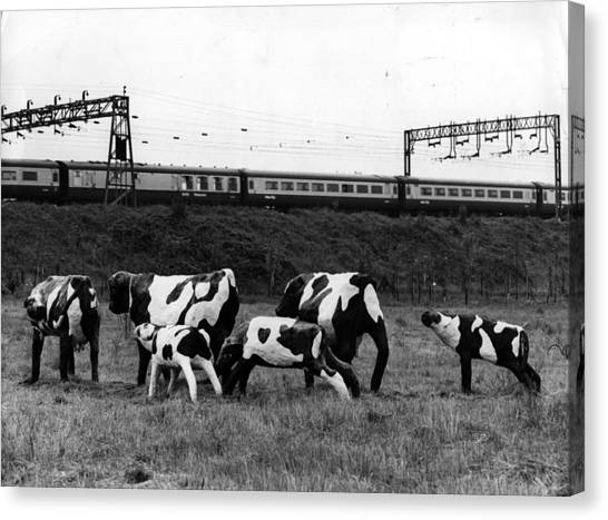 Concrete Cows Canvas Print by Ian Tyas