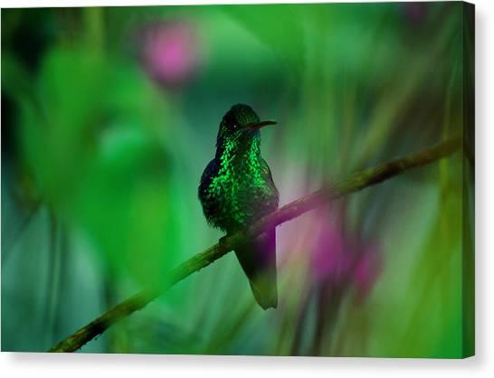 Art In America Canvas Print - Copper-rumped Hummingbird Amazilia by Art Wolfe