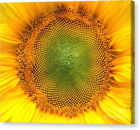 Sunflower Seeds Canvas Print - Core Of Of The Flower, Texture by Ian 2010