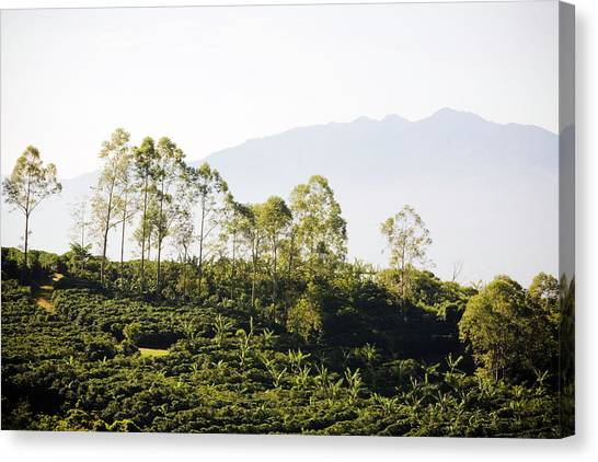 Costa Rica, Alajuela, Coffee Plants At Canvas Print