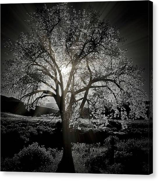 Cottonwood Sun Radiance, B And W Canvas Print