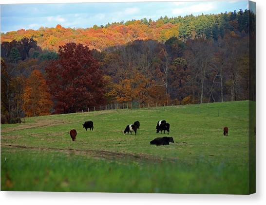 Canvas Print featuring the photograph Cows Grazing On A Fall Day by Angela Murdock