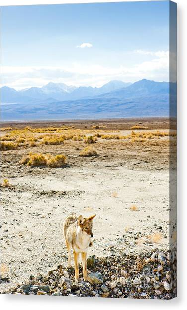 Death Valley Canvas Print - Coyote, Death Valley National Park by Richard Semik