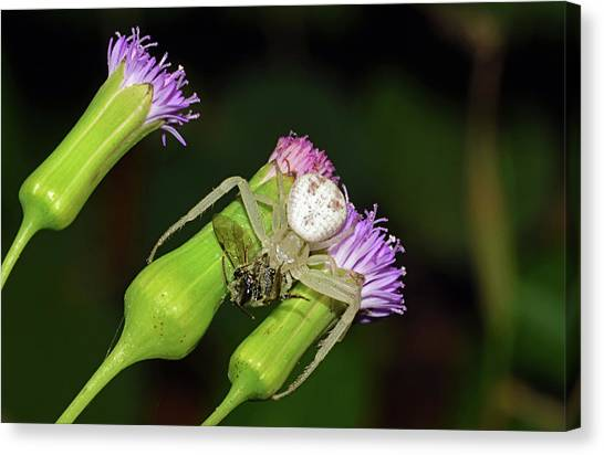 Crab Spider With Bee Canvas Print