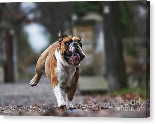 Happiness Canvas Print - Crazy English Bulldog Puppy Running by Best Dog Photo