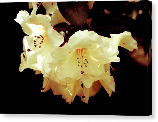 Creamy Rhododendron Canvas Print