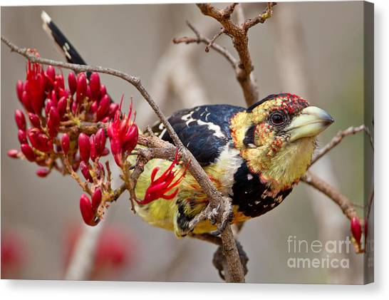 Bush Canvas Print - Crested Barbet, South Africa by Arnoud Quanjer