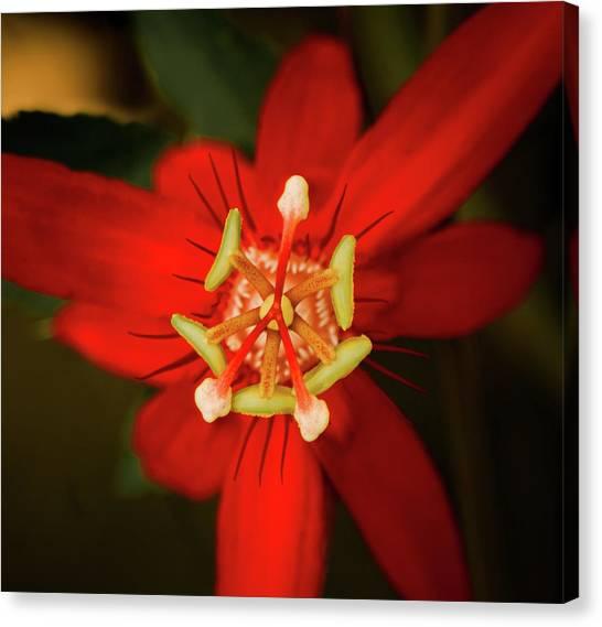 Crimson Beauty Canvas Print