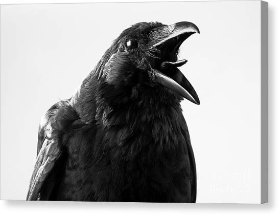 Zoology Canvas Print - Crow In Studio by Redpip1984