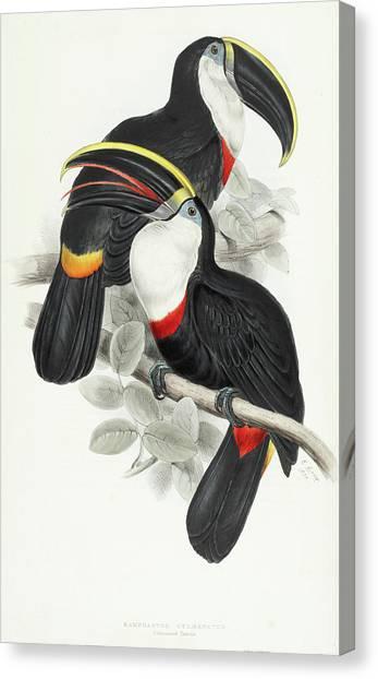 Toucans Canvas Print - Culmenated Toucan by John Gould