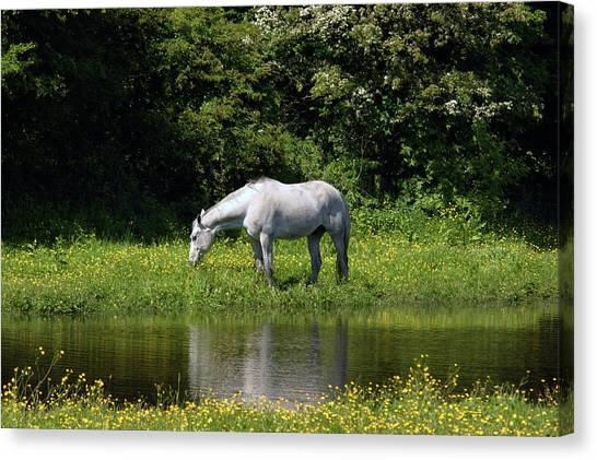 Cumbria. Ulverston. Horse By The Canal Canvas Print