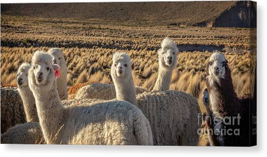 Andes Mountains Canvas Print - Curious Alpacas by Delphimages Photo Creations