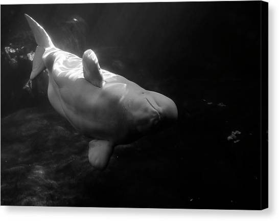 Curious Beluga Canvas Print